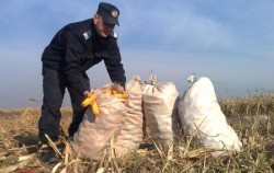 Cercetați pentru furtul a 4 tone de porumb
