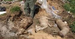 Dezastru ecologic lângă Arad! Peste o sută de căprioare moarte în ultimele săptămâni!