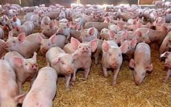 Rusia a impus restricţii temporare pentru  carnea şi produsele din porc provenite din România