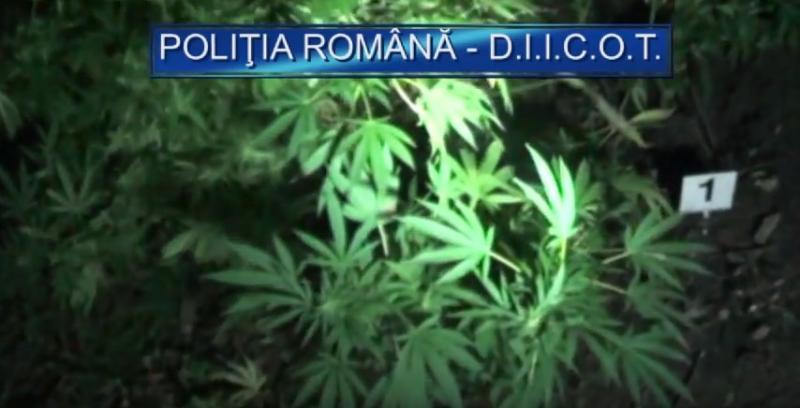 Imagini INEDITE cu plantaţia de canabis a  celor doi poliţişti arădeni, arestaţi pentru trafic de droguri!