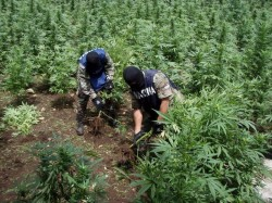 Doi poliţişti din Micalaca, reţinuţi de DIICOT pentru trafic de droguri. Aceştia aveau propria plantaţie de canabis la Iratoşu