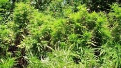 O nouă plantaţie de canabis, descoperită de poliţişti în judeţul Arad