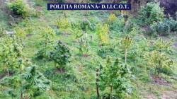 Imagini inedite cu plantaţia de CANNABIS din localitatea Petriş