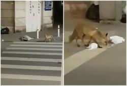 O vulpe a profitat de pustiul din oraș și a dat o tură pe lângă Tribunal