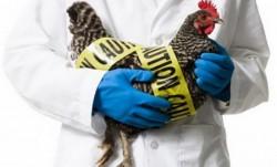Pericol de gripă aviară!