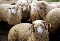 Au furat 26 de ovine dintr-o fermă