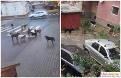 Lipova, oraşul câinilor fără...primar! Haitele de câini au pus stăpânire pe oraş spre disperarea cetăţenilor