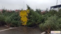 La Arad au apărut primii brazi de Crăciun. AFLĂ preţul lor
