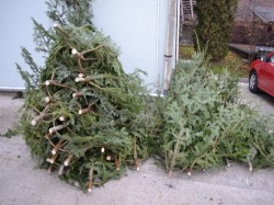 Brazi de crăciun tăiaţi ilegal, confiscaţi de poliţiştii din Sebiş