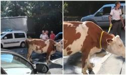 Vaca care a ieşit la plimbare prin oraş ziua în amiaza mare
