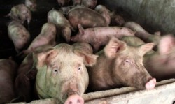 La nivelul municipiului Arad au fost luate măsuri de prevenire a apariției pestei porcine