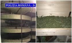 Trei arădeni traficanţi de CANNABIS, ridicaţi de DIICOT Arad
