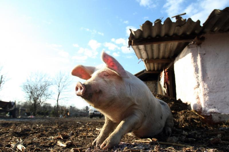 Pesta porcină infirmată la Arad