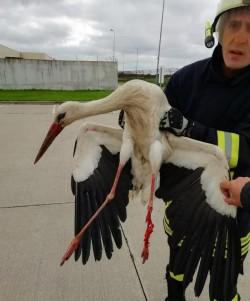Intervenție salvări animale: O barză a rămas atârnată de un stâlp