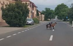 Au ieşit caprele la plimbare prin oraş precum bunicii noştri pe vremuri pe Corso