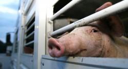 Bărbat din Secusigiu prins de polițiști în timp ce transporta 6 porci fără a avea documente de proveniență