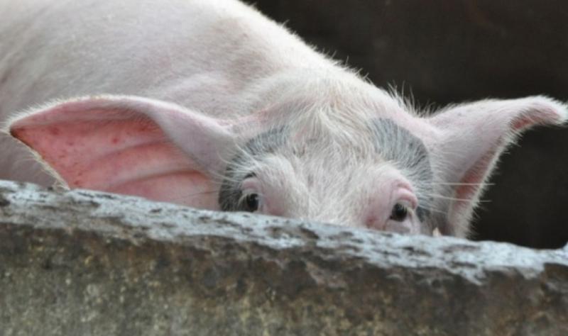Falcă a cerut bani de la Bruxelles, Cionca a solicitat Ordonanță de Urgență pentru combaterea efectelor pestei porcine