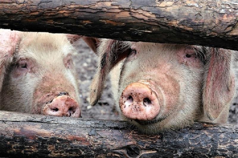 ALERTĂ! TOȚI porcii din localitatea Cintei vor fi sacrificați!