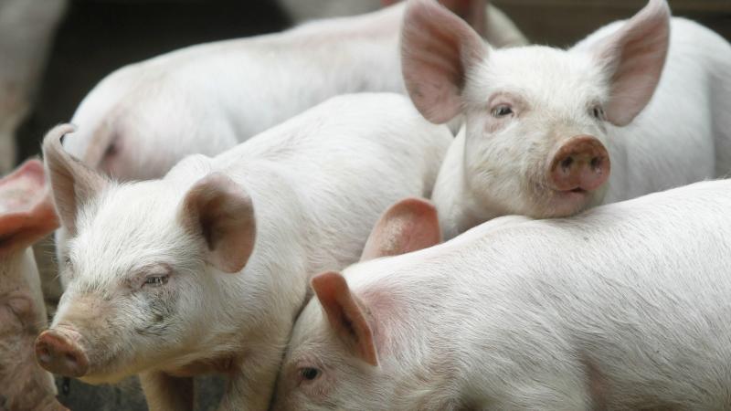 Toți porcii din încă un sat din județul Arad vor fi omorâți
