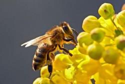 Albinele au fost declarate cele mai importante ființe de pe planetă