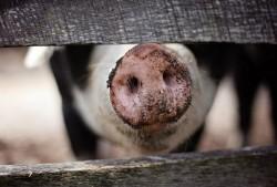 Complexul de porci din Olari, afectat de pesta porcină africană. Deși sănătoși, porcii din fermă nu pot fi vânduți