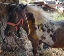 Un arădean, proprietarul PONEIULUI pierdut este căutat să-și ia acasă animalul!