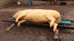 De anul acesta porcii se vor tăia doar în prezența medicului veterinar. AFLĂ ce riscă cei ce nu respectă