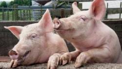 Bărbat din Dâmboviţa oprit în Chişineu Cris cu un Transport de 40 de porci, fără documente