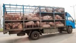 21 de porci fără acte, descoperiți de polițiști într-o autoutilitară