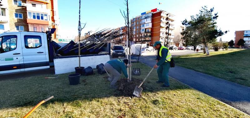Arborii bătrâni și bolnavi din centrul orașului vor fi înlocuiți joi, cu copaci tineri