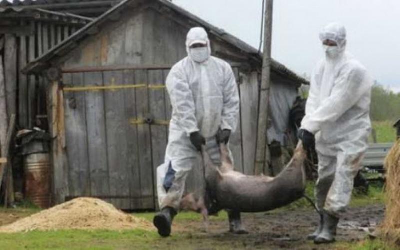 Focar de pestă porcină africană în Timiş! Zeci de porci, ucişi astăzi, lângă Timişoara!