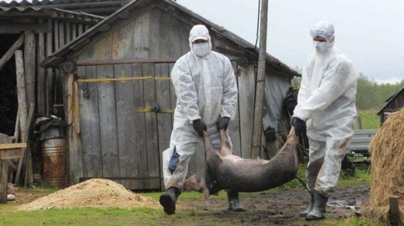 Zeci de porci au fost încinerați ,în urma confirmării prezenței focarului de pestă porcină din Timiș