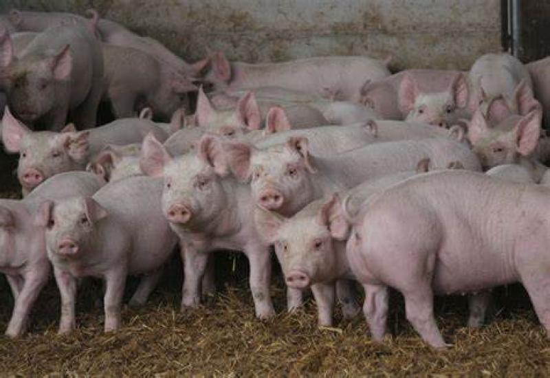 AMENDAT, după ce a fost prins cu 24 de purcei, cumpărați dintr-o zonă cu pestă porcină