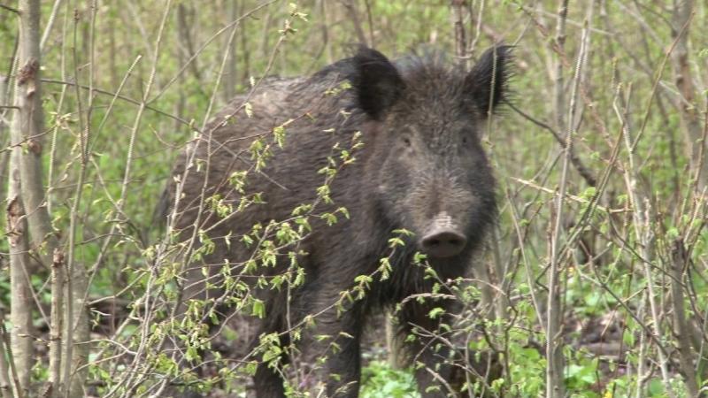 Focarul de pestă porcină africană din localitatea Socodor aduce restricţii în toate zonele împădurite ale județului Arad