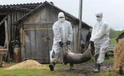 La Macea, porcii uciși de pesta porcină vor fi înhumați într-o groapă comună
