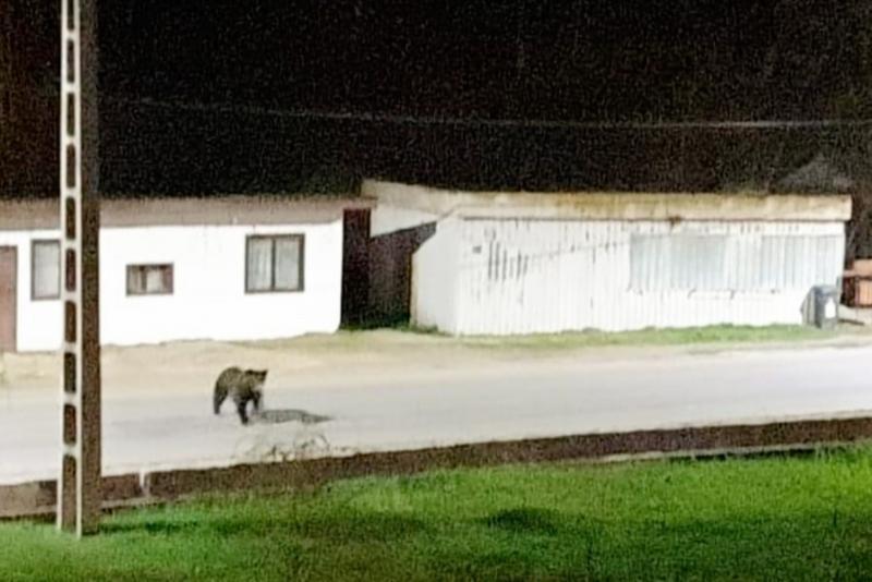 Iustin Cionca avertizează arădenii să se ferească de ursul vagabond din Moneasa