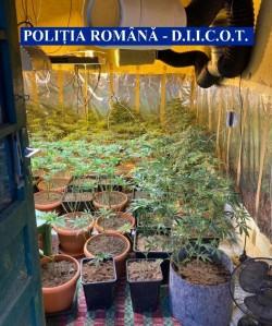 Cultură de cannabis descoperită în județul Arad. 331 de plante de cannabis confiscate