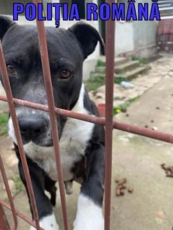 Trei câini din rasa Amstaff plasați în adăpost de polițiștii Biroului Poliția Animalelor