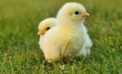 Germania, prima ţară din lume care interzice uciderea în masă a puilor de găină de sex masculin