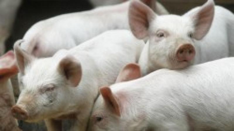 Focar de pestă porcină la Dezna și Laz. Set de măsuri pentru prevenirea răspândirii bolii