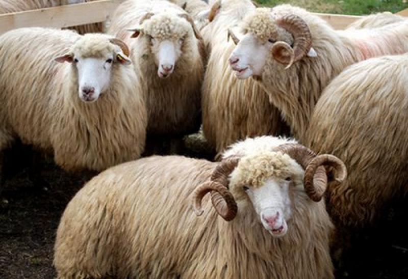 Aradul fruntaș la număratul oilor și a porcilor. Recensământul agricol: 63,9% din exploatații, recenzate în prima lună