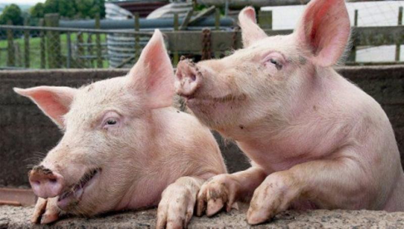 Gospodarii care-și hrănesc porcii cu resturi alimentare riscă amenzi de până la 8.000 de lei
