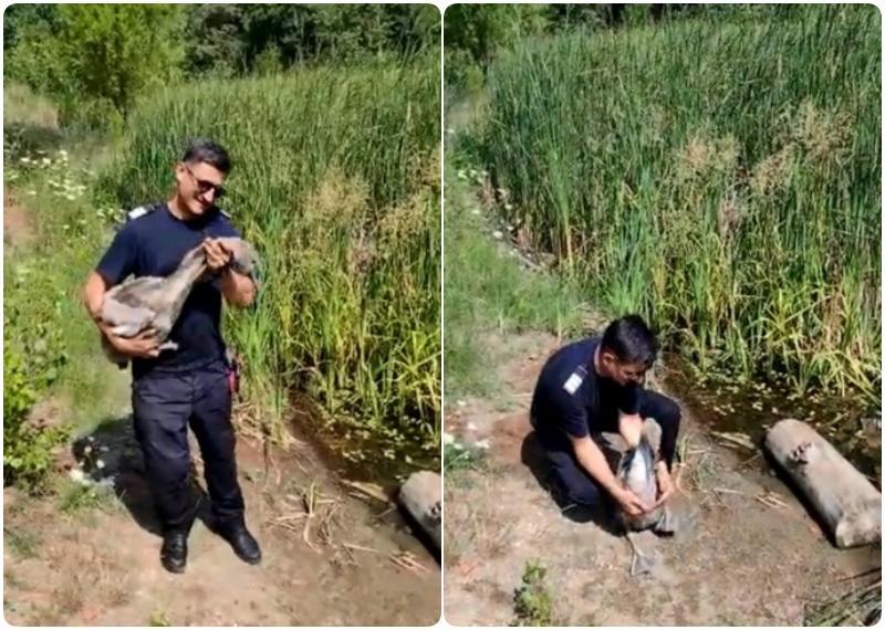Pui de lebădă salvat de pompierii arădeni la balta Măltăreț