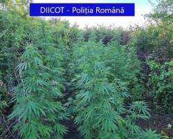 Rețea de cultivatori și comercianți de cannabis destructurată la Arad. 6 inculpați au fost trimiși după gratii